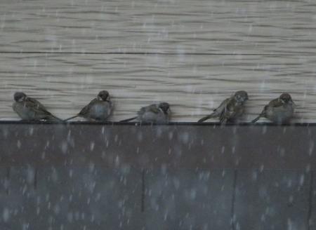 豪雨と雀 2019-07-29 009