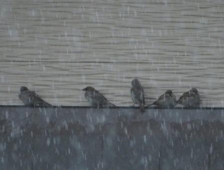 豪雨と雀 2019-07-29 006