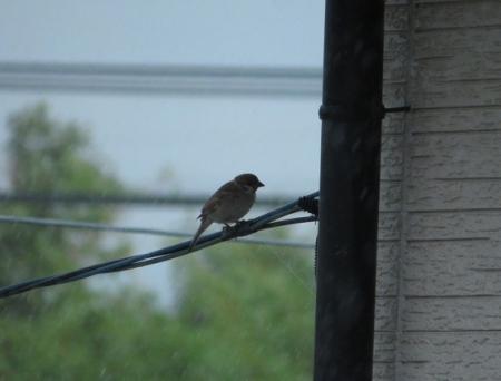 豪雨と雀 2019-07-29 001