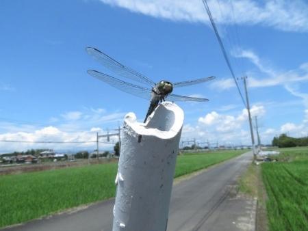 入道雲・ウチワトンボ 2019-07-25 032