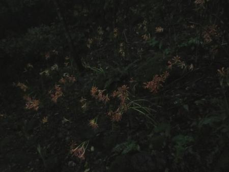 狐 八幡岳 2019-07-30 061