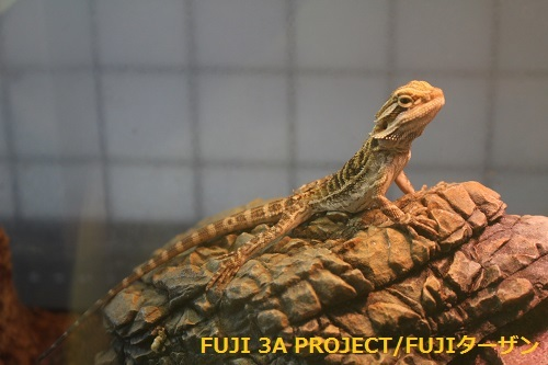 フトアゴヒゲトカゲ
