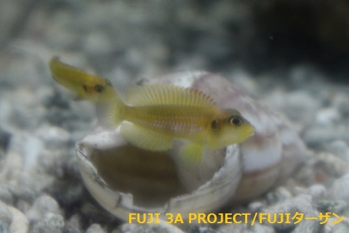 ネオランプロローグスオセラータスゴールド