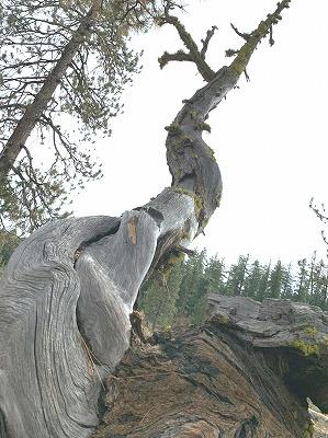 ジョットディーンケイブ木のうねうね
