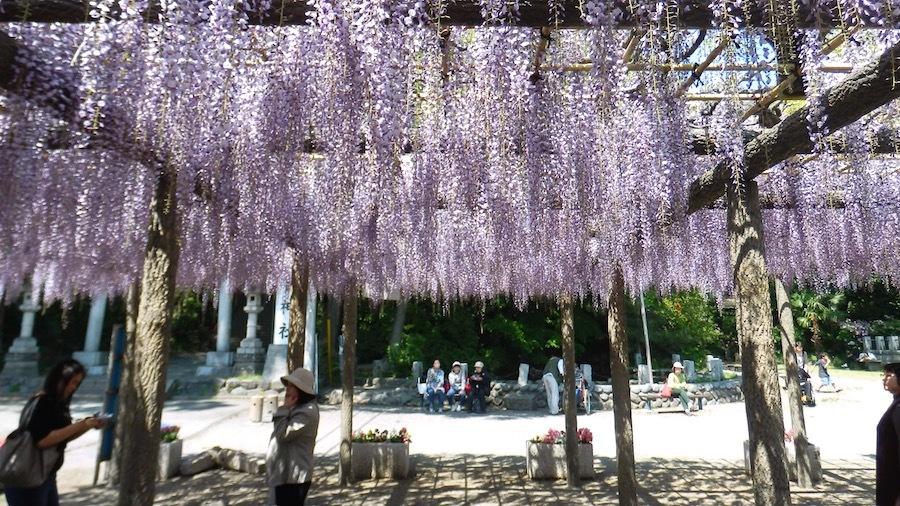 昭島市 「日吉神社のフジ」