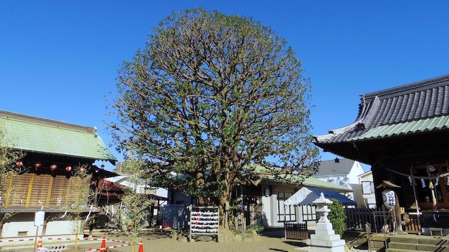 御嶽神社14白山神社の御神木