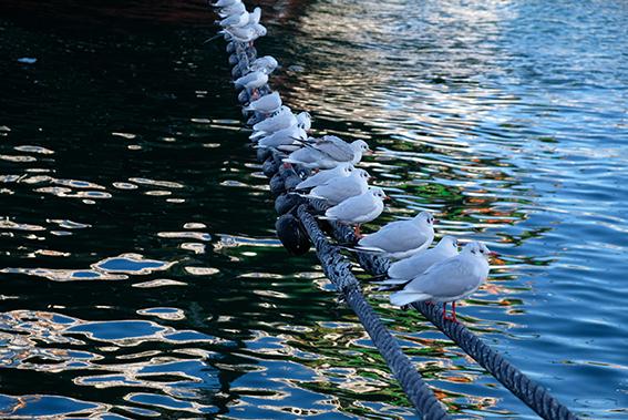 横浜港のカモメたち