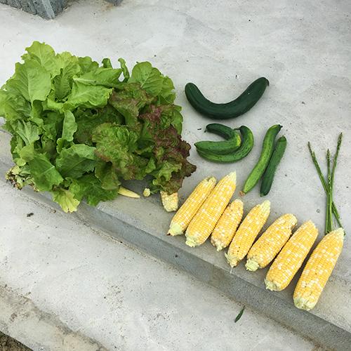 夏野菜の収穫が始まりました♪ ~2019年 夏~⑥