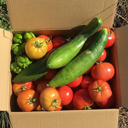 最近何やら大忙し! 夏野菜の結果報告です。④