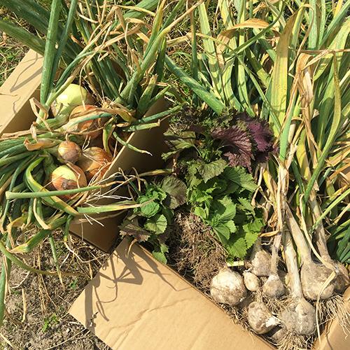 植え時が遅れた玉ねぎ、ニンニクの収穫④