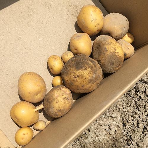 待望のジャガイモがたくさん採れました⑤