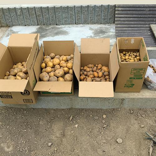 待望のジャガイモがたくさん採れました⑥