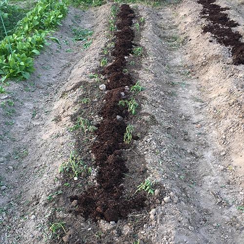梅雨前にトマトの苗を植えました①