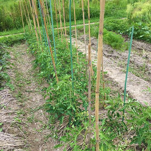 梅雨前にトマトの苗を植えて鳥に食べられる④