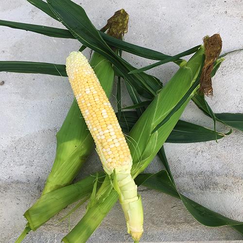 夏野菜の収穫が始まりました♪ ~2019年 夏~③