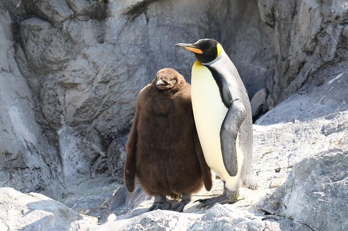 キングペンギンの親子