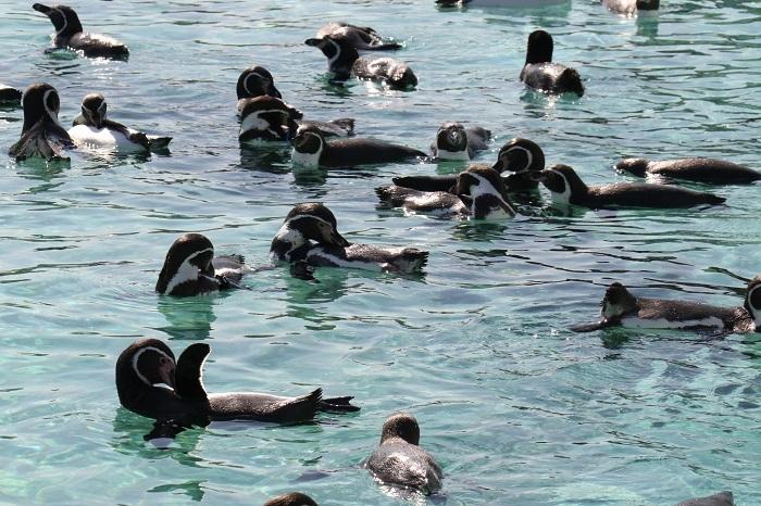 水面で羽繕いするフンボルトペンギン