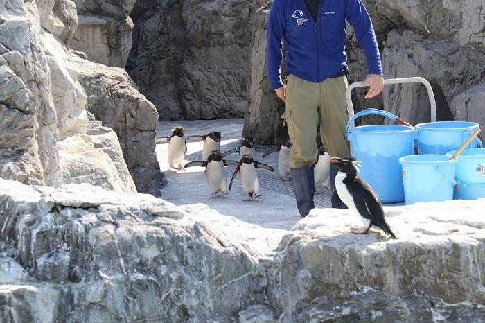 必死に飼育員さんの後を追うイワトビペンギン