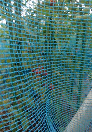 ミニトマトが~ フルティカ