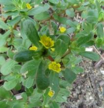 190729009 夏の七草のひとつ スベリヒユの花