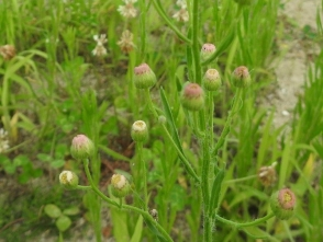 190729034 色合いが地味な花の アレチノギク