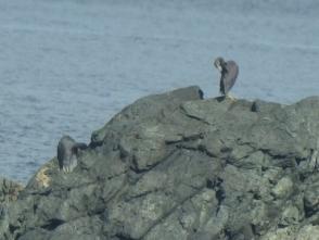 190831047 岩場の色とそっくりなクロサギ 2 羽