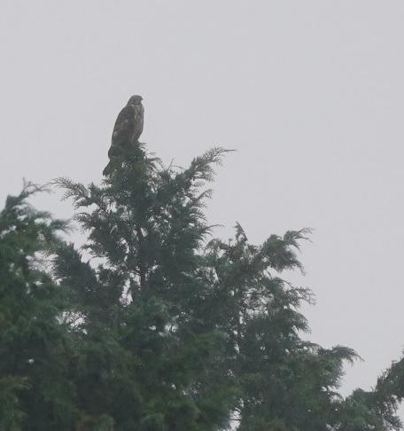霧雨の中、ヒノキの先に止まったハチクマ