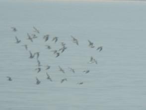 190927051 海面の近くを飛翔するシギ科ミユビシギの群れ