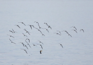 190927026 海面近くを素早く飛翔するミユビシギの群れ 4つの飛翔場面