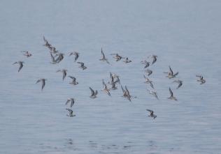190927027 海面近くを素早く飛翔するミユビシギの群れ 4つの飛翔場面
