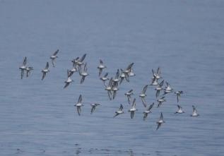 190927029 海面近くを素早く飛翔するミユビシギの群れ 4つの飛翔場面