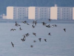 190927030 海面近くを素早く飛翔するミユビシギの群れ 4つの飛翔場面