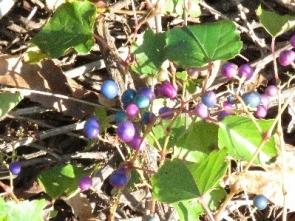 191028005 色鮮やかなノブドウの実