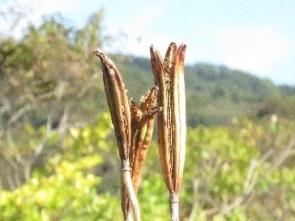 191028007 タカサゴユリの種の詰まった鞘