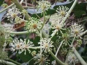 191125020 ヤツデの花が咲きだした