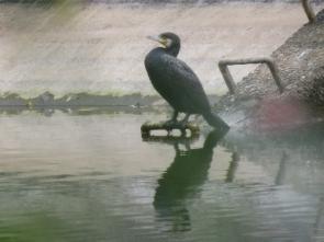 191125006 ため池で休むカワウ
