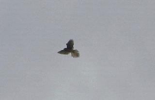 191125045 チョウゲンボウ、空中停止