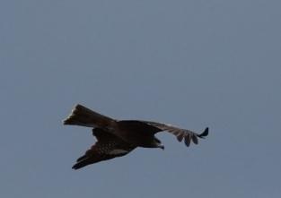 191125066 低く飛翔するトビ