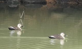 191125073 ため池のカルガモ