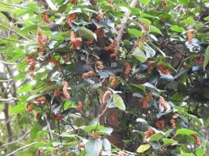 191224047 沢山のオレンジ色のフウトウカズラの実
