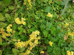 191224050 シマカンギクの黄色の花が目立ちました