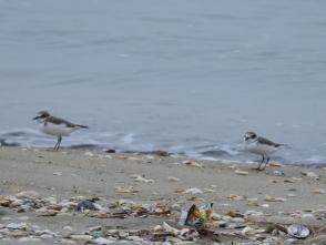 191224044 砂浜で食べもの探ししていたシロチドリ