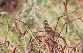 191224030 草藪の中、カメラで確認したカシラダカ