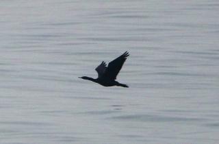 191224033 海面近くを飛ぶヒメウ