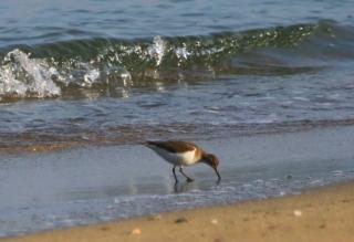 191224035 砂浜で採食するイソシギ