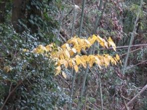 191224003 イヌビワの黄葉