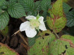 191224005 クサイチゴの花がもう咲いていた