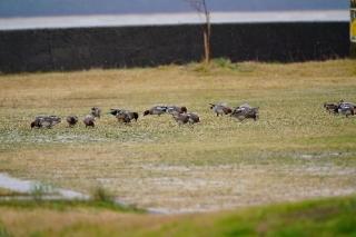 200127008 グランドで草を食べるヒドリガモの群れ