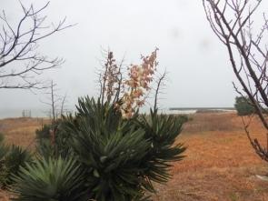 200127033 海岸に生育しているキミガヨラン(花)