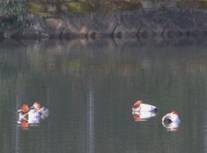 200219007 ホシハジロ